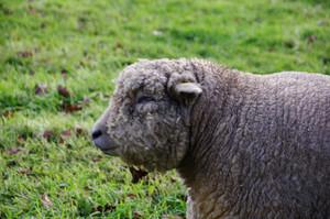 Sheep2_2